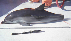 Short-beaked Common Dolphin killed in drift gillnet